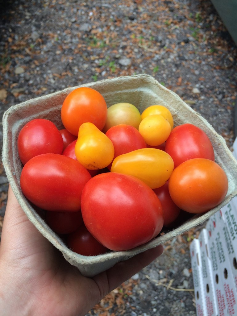 Fall-Farm-Morris-Tomatoes
