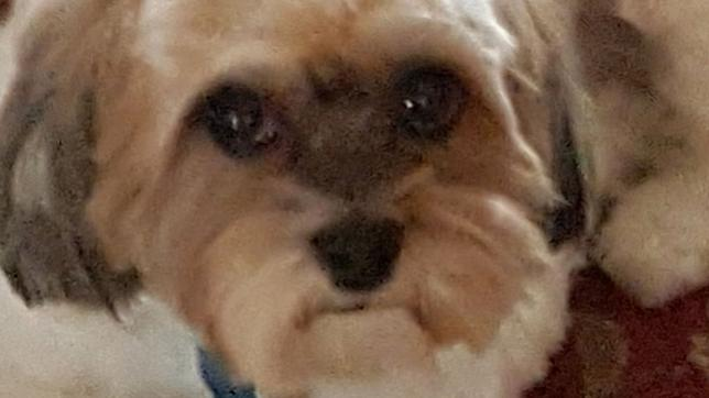 Image of Shih Tzu, Molly.