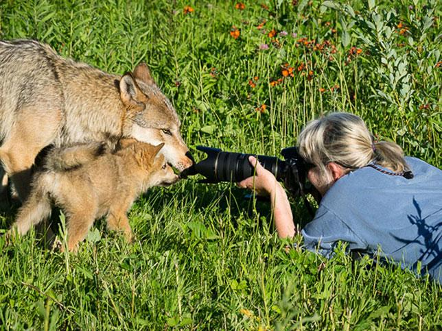 Tia photographing wolves