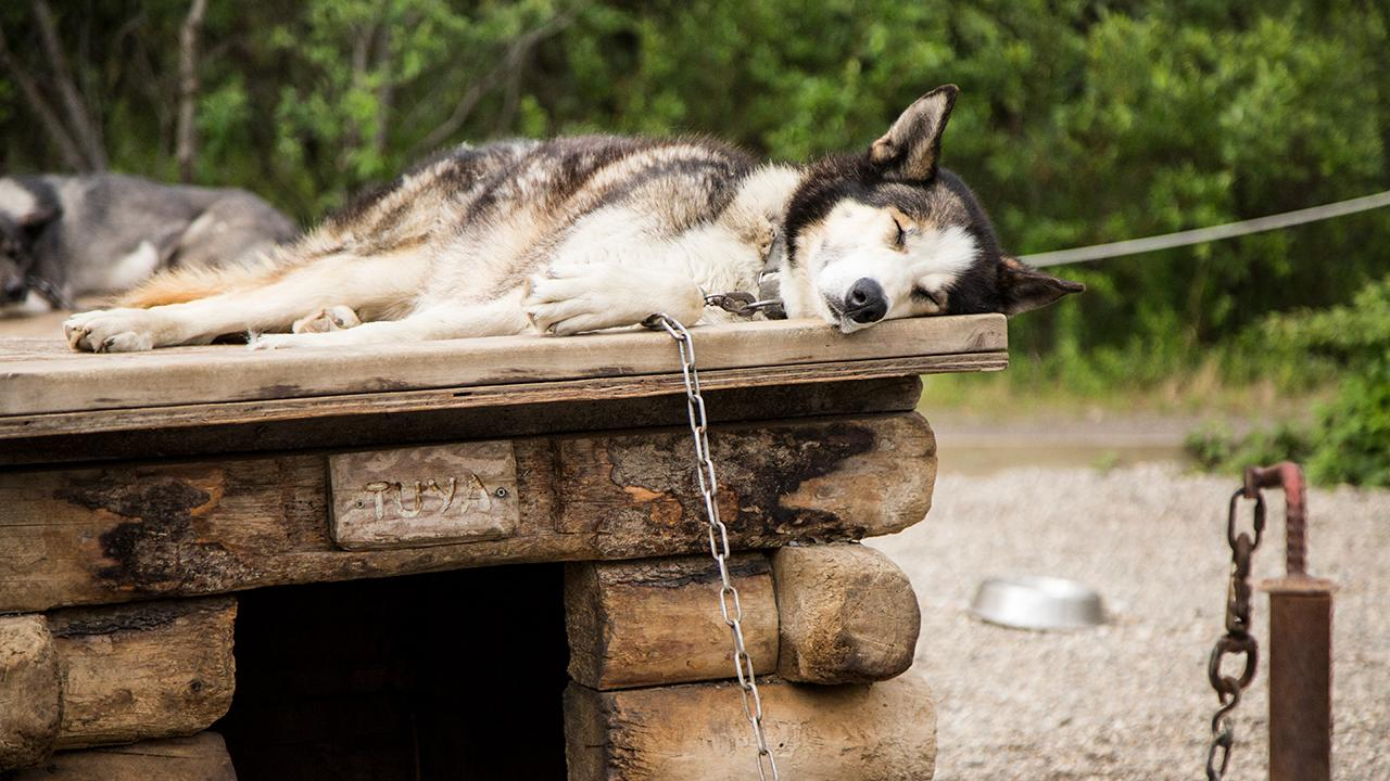 Huskie on top of log dog house